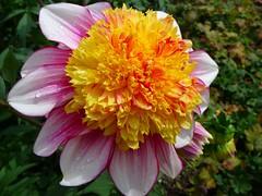 Dahlia (libra1054) Tags: dahlia flowers flores macro nature closeup fleurs garden flora outdoor natur jardin blumen natura jardim fiori garten dalia giardino dahlien jardn