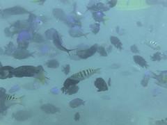 AGQ-20140422-0015 (AGQue) Tags: travel vacation fish fiji telephone cellphone snorkeling april fj coralreef oceania 2014 underwaterphotography wetseason fji westerndivision iphoneography appleiphone4s gmt1200fijiislandsstandardtimezone