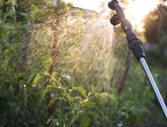 Garden sprayer spraying water over young tomatoes (The Nile Basin Initiative Secretariat) Tags: summer sun plant green nature wet water sunshine metal rural work garden tomato season outdoors shower leaf spring stem support natural gardening farm young vine vegetable device drop spray system equipment growth sprinkler vegetarian droplet growing organic splash agriculture pour liquid irrigation agricultural watering sprinkle kitchengarden refresh sprayer cultivated irrigate