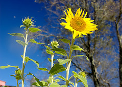 Sunflowers (Troy Shiels) Tags: flowers blue plant yellow garden nikon outdoor kitlens sunflowers d40