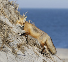 Red Fox climbing a sand dune (Mawrter) Tags: ocean red wild sun sunlight beach nature sunshine canon outdoors climb sand warm afternoon outdoor wildlife sandy dune climbing shore fox sanddune seashore warmlight ibsp redfox islandbeachstatepark specanimal canon7dmarkll