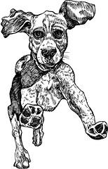 Beagle Run (minniemorrisart) Tags: dog pet pets art beagle animal illustration pen ink sketch artwork artist gallery arty drawing picture draw