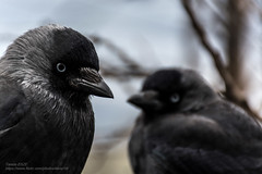 Jackdaw / Csóka \ Grackle (-REcallable-Memories-of-ET-) Tags: 2016 bird esze hungary nikon tamas csóka d5200 corvusmonedula corvus monedula jackdaw europe et