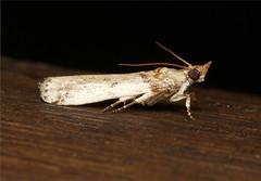 Lepidoptera (Moth sp) - South Africa (Nick Dean1) Tags: insect southafrica moth insects lepidoptera arthropods arthropoda krugernationalpark arthropod hexapod insecta hexapods hexapoda mopani