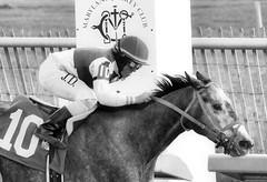 2015-12-31 (66) r3 J.D. Acosta on #10 Skip the Punch (JLeeFleenor) Tags: photos photography md marylandracing marylandhorseracing laurelpark bw blackwhite monochrome jockey   jinete  dokej jocheu  jquei okej kilparatsastaja rennreiter fantino    jokey ngi horses thoroughbreds equine equestrian cheval cavalo cavallo cavall caballo pferd paard perd hevonen hest hestur cal kon konj beygir capall ceffyl cuddy yarraman faras alogo soos kuda uma pfeerd koin    hst     ko  winner outside outdoors maryland