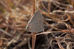 Forget Me Not (Chaitanya Shukla) Tags: india macro butterfly maharashtra forgetmenot in saswad udachiwadi