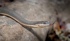 Queen Snake (cre8foru2009) Tags: macro georgia nikon reptile snake tamron chattahoocheeriver herping queensnake reginaseptemvittata