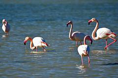 tang de Bages (Aude) (PierreG_09) Tags: aude greaterflamingo phoenicopterusroseus oiseau bages languedocroussillon faune flamantrose phoenicoptrids lrmp tangdebages phoenicoptriformes