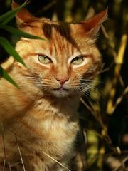 Monsieur Chat. (chang_j1) Tags: portrait animal chat lumire ombre couleur bambou feuilles