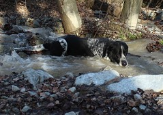 Mastik (bulbocode909) Tags: nature eau hiver arbres chiens rivires torrents forts