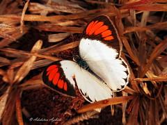 crimson tip (dotun55) Tags: macro grass sunshine butterfly insect lagos lepidoptera nigeria basking pieridae crimsontip colotisdanae