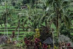 20150913145908.jpg (Marisa y Angel) Tags: bali ricefields paddyfields 2015 jatiluwih camposarroz