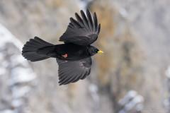 Chocard  bec jaune - Gemmipass 2016 (DorianHunt) Tags: snow birds switzerland bokeh sigma alpine february chough 2016 gemmipass 150600mm nikond7200