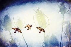 LUKI6856-thistlesandpigeons (Michael William Thomas) Tags: wedding sky newyork mike photoshop portraits photography buffalo photographer pigeon thistle buffalony weddingphotographer mikethomas weddingphotography buffalonewyork michaelthomas mtphoto buffalowedding michaelwthomas