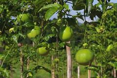 Maracuj - (Sonia Carzino) Tags: fruit passion maracuj