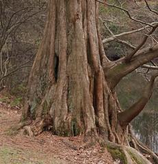 Redwood Tree (Harry Lipson) Tags: wood tree nature trunk redwood redwoodtree dawnredwood harrylipsoniii harrylipson