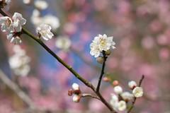 ウメ/Prunus mume (nobuflickr) Tags: japaneseapricot ウメ prunusmume バラ科サクラ属 20160225p1020789