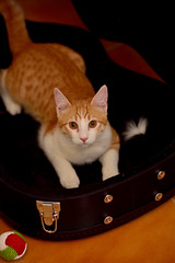 Gato Jinks  (21) (adopcionesfelinasvalencia) Tags: gato jinks