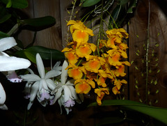 the 2016 pacific orchid exposition, Dendrobium aggregatum species orchid (nolehace) Tags: nolehace winter fz35 216 flower plant bloom fort mason 2016 dendrobium aggregatum species orchid sanfrancisco