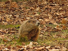 Woodchuck (Groundhog) (Photos by the Swamper) Tags: woodchuck groundhog