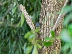 P3131200 (tatsuya.fukata) Tags: bird animal thailand samutprakan