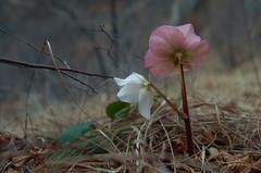 Bellezza e Verit (Alberto Cameroni) Tags: poesia fiori elleboro chimera helleborusniger emilydickinson