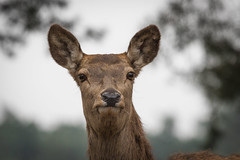 Red Deer 2016-03-24-0157 (bzd1) Tags: nature animal animals mammal reddeer herten chordata edelhert zoogdieren