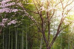 Hanami (Sam-in-Japan) Tags: flowers nature festival japan rural cherry japanese countryside spring blossom bamboo hana sakura hanami nakatsu oita inaka