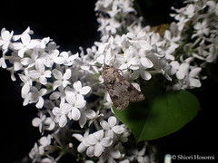 (Shiori Hosomi) Tags: flowers plants japan night tokyo nocturnal nightshot moth insects  lilac april   lilas  2016  syringa    scrophulariales oleaceae   noctuary    flowersinthenight noctivagant   23     entomon