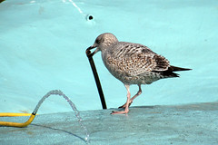 Herring Gull (NTG's pictures) Tags: sea wildlife gull center lincolnshire seal sanctuary herring mablethorpe