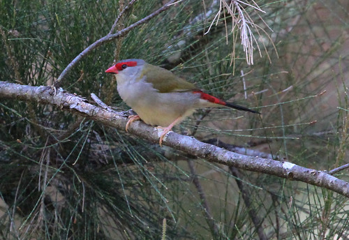 Neochmia temporalis (Red-browed Finch)