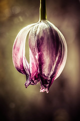 The End (Limes Wright) Tags: flower nature tulip muted