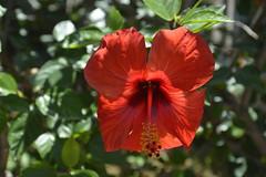 Hibiscus rosso in controluce (costagar51) Tags: isoladellefemmine palermo sicilia sicily italia italy thebestofmimamorsgroups