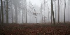 rotbuchenwald im nebel 0634 (s.alt) Tags: rot fog bayern europa nebel silence fagus buche laubbaum rotbuche rotbuchenwald rtlichefrbung