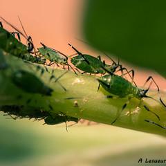 Larve au jardin (Shoot Enraw) Tags: insect jardin larve macrophotographie
