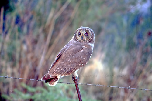 Marsh Owl , , Asio capensis, Potchefstroom,WM, NW Province.