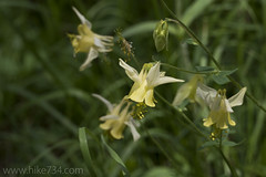 """Yellow Columbine • <a style=""""font-size:0.8em;"""" href=""""http://www.flickr.com/photos/63501323@N07/26071434933/"""" target=""""_blank"""">View on Flickr</a>"""