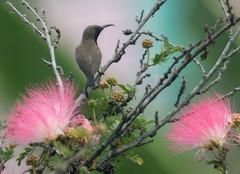 IMG_9106 Olive-backed Sunbird (suebmtl) Tags: bird thailand acacia sunbird olivebackedsunbird nectariniajugularis