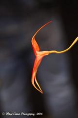 Artfully suspended (Eyesplash - Summer was a blast, for 6 million view) Tags: light orange orchid flower garden botanical alone artistic bokeh single lonely van dusen