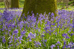 Bluebells at garston woods (p.dimarco34) Tags: trees sun bluebells woods colourful
