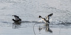 Dgage - Go away (dom67150) Tags: birds animal great crested coot grebe oiseaux foulque grbehupp
