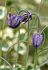 Spring 2016 - 857 LBG (Lostash) Tags: life flowers plants nature gardens spring flora seasons leicesterbotanicalgardens