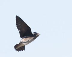 Purple Martin (J.B. Churchill) Tags: ny newyork birds us unitedstates places puma seneca swallows taxonomy purplemartin senecafalls senecacounty montezumanwr