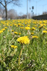 Wild And Free (Flint Foto Factory) Tags: city wild urban chicago nature beautiful grass hope illinois spring weeds north free lakeshoredrive lsd dandelion urbannature april sheridan optimism edgewater dandelions individual foundontheground 2016 nsheridanrd