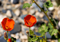 Red twins (Meteorseeker) Tags: flowers mountains flower nature canon outside desert outdoor wildlife nevada canyon catcus deserttortise tortise mountainpeak canon60d canonfanphotography