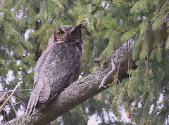 Great horned owl in the wild. (Mel Diotte) Tags: great horned owl wild nature mel diotte explore
