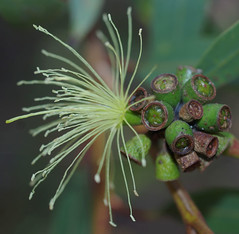 Eucalyptus ?, Kings Park, Perth, WA, 24/03/16 (Russell Cumming) Tags: plant perth eucalyptus kingspark westernaustralia myrtaceae