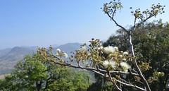 Albizia sp. (Anurag N. Sharma) Tags: albizia mimosaceae scrubforest siddarabetta drydeciduousforest floraofkarnataka floraoftumkurdistrict