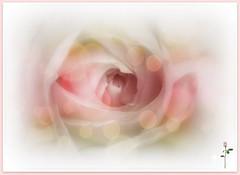 Mi Rosa especial...6/04/16 (☮ Montse;-))) Tags: mamá rosa tqm especial