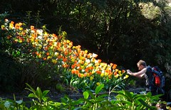 A Happy Sunday morning to you! (peggyhr) Tags: sunlight canada vancouver photographer bc tulips cove deep peggyhr simplysuperb thegalaxyhalloffame thelooklevel1red thelooklevel2yellow thelooklevel3orange thelooklevel4purple niceasitgets~level1 redlevelno1 dsc04233ax